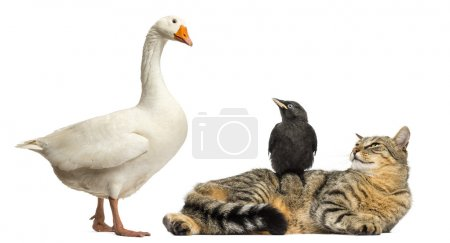 Photo for Domestic goose looking down at a cat and Jackdaw, isolated on white - Royalty Free Image