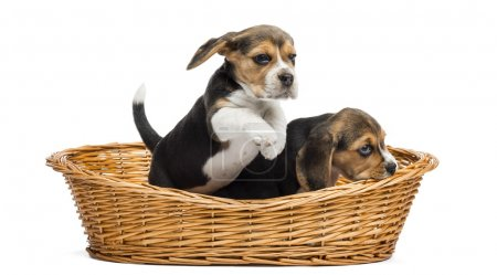 Two Beagle puppies playing in a wicker basket, isolated on white