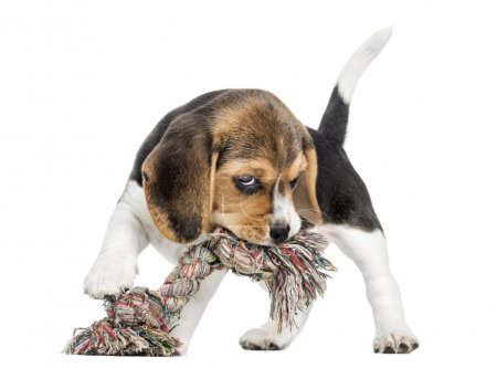 Front view of a Beagle puppy biting a rope toy, isolated on whit