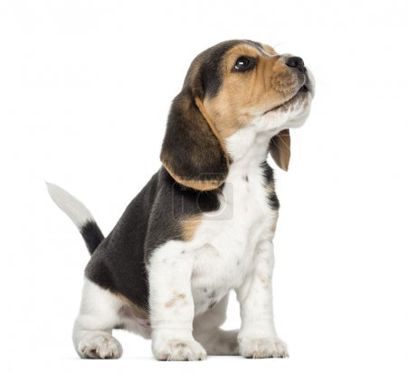 Beagle puppy howling, looking up, isolated on white