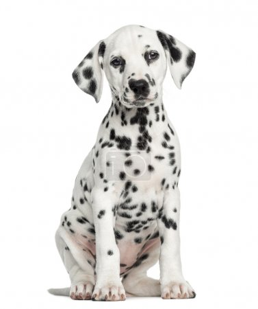 Front view of a Dalmatian puppy sitting, facing, i...