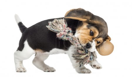 Side view of a Beagle puppy playing with a Rope toy, isolated on
