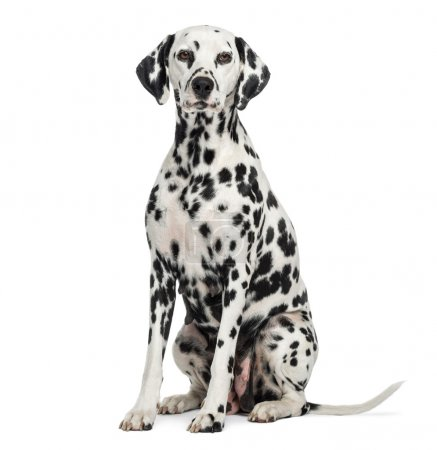 Dalmatian sitting, looking at the camera, isolated...