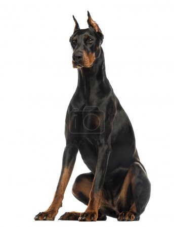 Photo for Doberman Pinscher sitting, isolated on white - Royalty Free Image