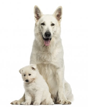 White Swiss Shepherd mom with puppy, isolated on white
