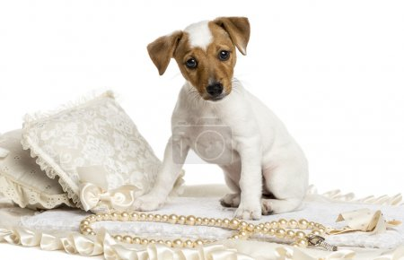 Jack russel puppy sitting on a carpet, isolated on white