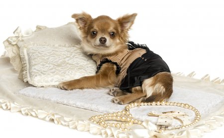 Dressed-up Chihuahua puppy lying on a carpet, 6 months, isolated