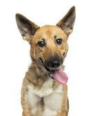 Close-up of a Belgian shepherd dog panting, looking crazy, looki