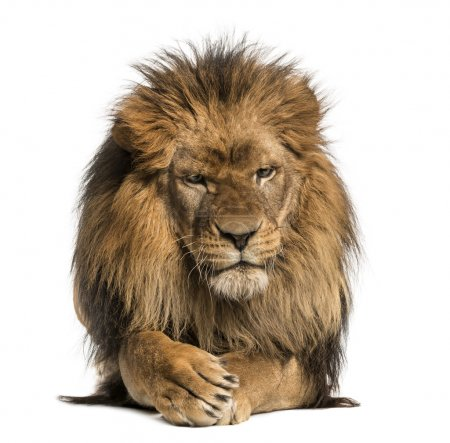 Front view of a Lion lying, crossing paws, Panthera Leo, 10 year