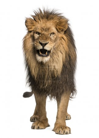 Front view of a Lion roaring, standing, Panthera Leo, 10 years o
