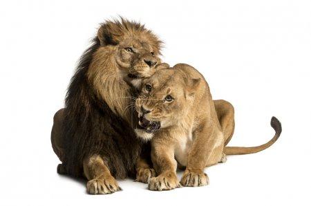 Photo pour Lion et lionne câlins, couché, Panthera leo, isolé sur blanc - image libre de droit