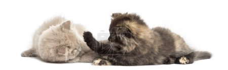 Two Highland fold kittens playing together, isolated on white