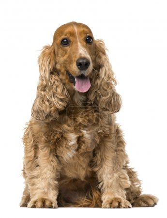 English Cocker Spaniel sitting, panting, 6 years old, isolated o