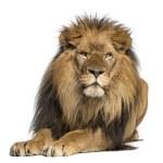 Lion lying down, facing, Panthera Leo, 10 years ol...