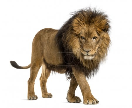 Side view of a Lion walking, looking down, Panthera Leo, 10 year