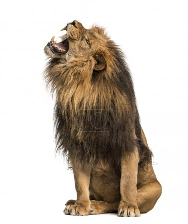 Lion roaring, sitting, Panthera Leo, 10 years old, isolated on w