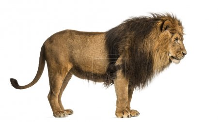 Side view of a Lion standing, Panthera Leo, 10 years old, isolat