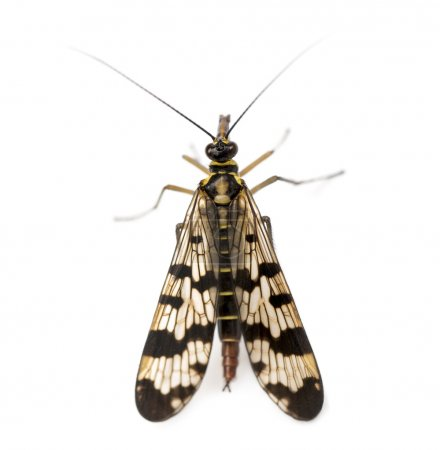Scorpionfly viewed from up high, Panorpa vulgaris, isolated on w