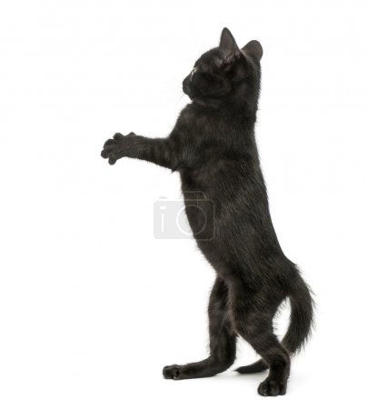 Back view of a Black kitten standing on hind legs, pawing up, 2