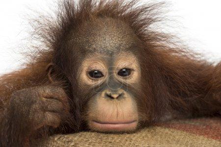 Photo pour Gros plan d'un orang-outan de Bornéo jeune, l'air fatigué, en regardant la caméra, pongo pygmaeus, 18 mois, isolé sur blanc - image libre de droit
