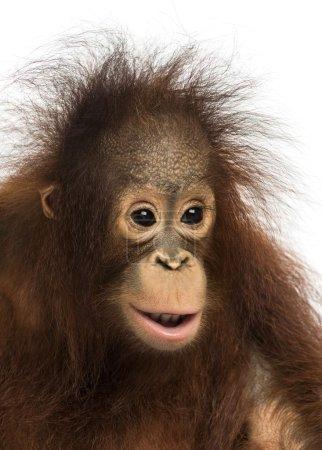 Photo pour Gros plan d'un orang-outan de Bornéo jeune, pongo pygmaeus, âgés de 18 mois, isolé sur blanc - image libre de droit