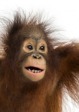 Photo for Close-up of a young Bornean orangutan, mouth opened, Pongo pygmaeus, 18 months old, isolated on white - Royalty Free Image