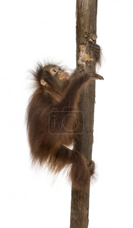 Side view of a young Bornean orangutan climbing on a tree trunk,