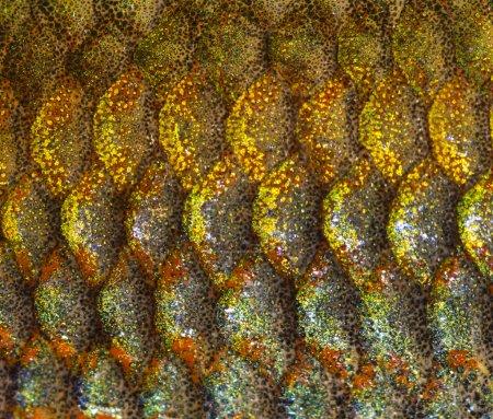 Macro of an Eastern Rainbowfish skin, Melanotaenia splendida spl
