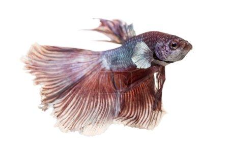 Photo pour Vue latérale d'un fighting siamois fish, betta splendens, isolé sur blanc - image libre de droit
