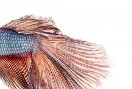 Close-up of a Siamese fighting fish's caudal fin, Betta splenden