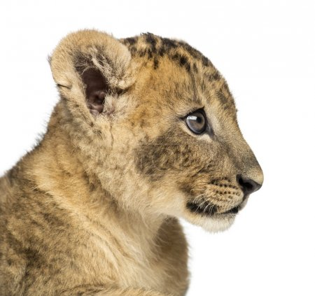 Close-up of a Lion cub profile, 7 weeks old, isolated on white