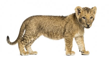 Side view of a Lion cub standing, looking down, 10 weeks old, is