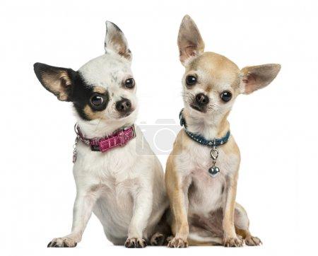 Photo pour Vue de face de deux Chihuahuas portant des colliers, assis, regardant la caméra, 3 ans, isolé sur blanc - image libre de droit