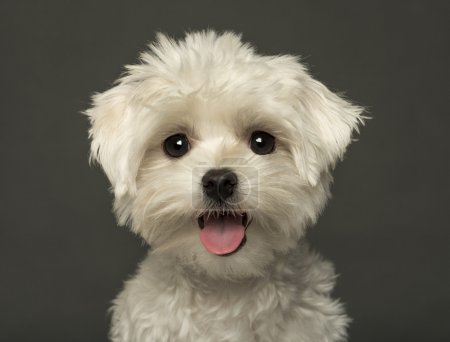 Close-up of a Maltese puppy panting, looking at the camera, isol