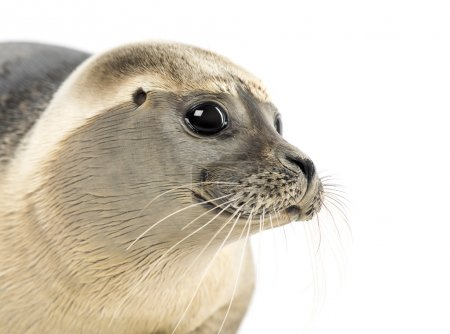 Close-up of a Common seal, Phoca vitulina, 8 months old, isolate