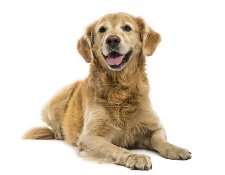 Golden Retriever lying, panting, 11  years old, isolated on whit