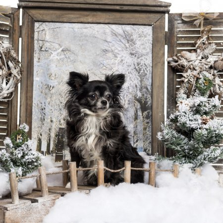 Chihuahua sitting on a bridge, in a winter scenery
