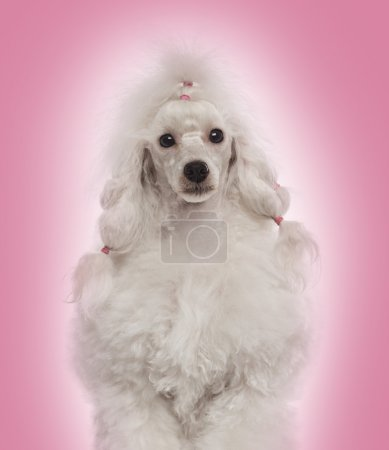 Close-up of a Poodle facing the camera, on a gradient pink backg