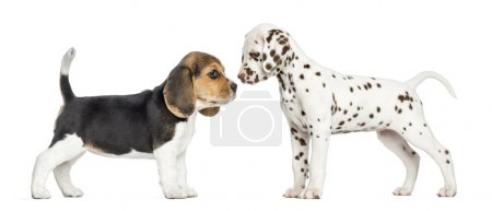 Side view of Dalmatian and Beagle puppies getting to know, isola