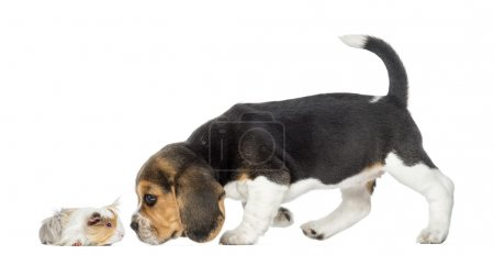 Side view of Beagle puppy and guinea pig getting to know each ot