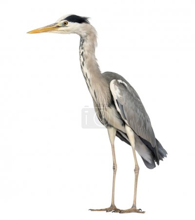 Side view of an Grey Heron standing, Ardea Cinerea, 5 years old,