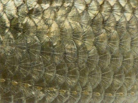 Macro of a Common roach skin, Rutilus rutilus, isolated on white