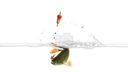 Common roach under water caught on a hook, struggling, Rutilus r