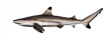 Side view of a Blacktip reef shark, Carcharhinus melanopterus, i