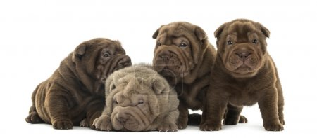 Front view of a Shar Pei puppies being together, isolated on whi