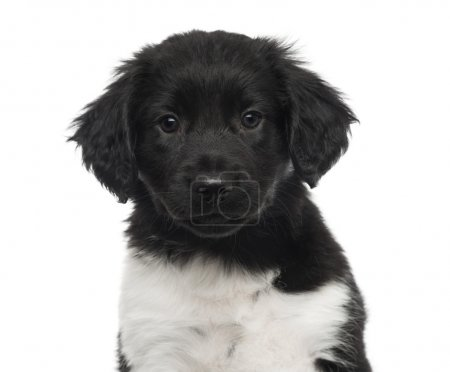 Close-up of a Stabyhoun puppy, looking at the camera, isolated o
