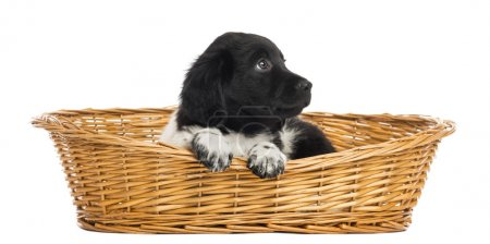 Stabyhoun puppy in a wicker basket, looking up, isolated on whit
