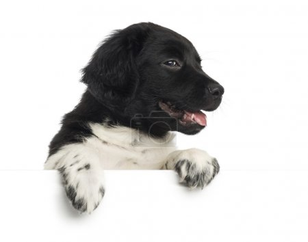 Close-up of a Stabyhoun puppy panting, leaning on a white board,