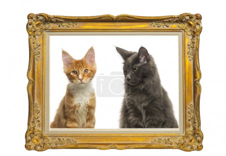 Maine Coon kittens sitting behind a vintage golden frame, isolat