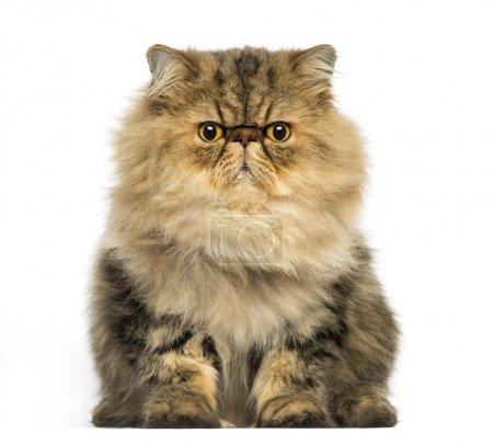 Front view of a grumpy Persian cat facing, looking at the camera